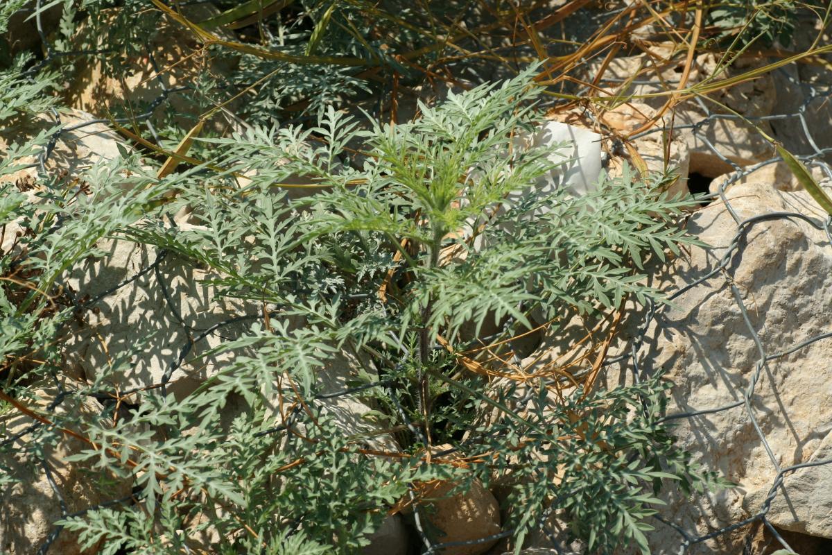 Ambroisie à feuilles d'armoise