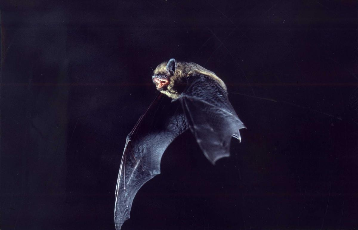 A bat in your house!