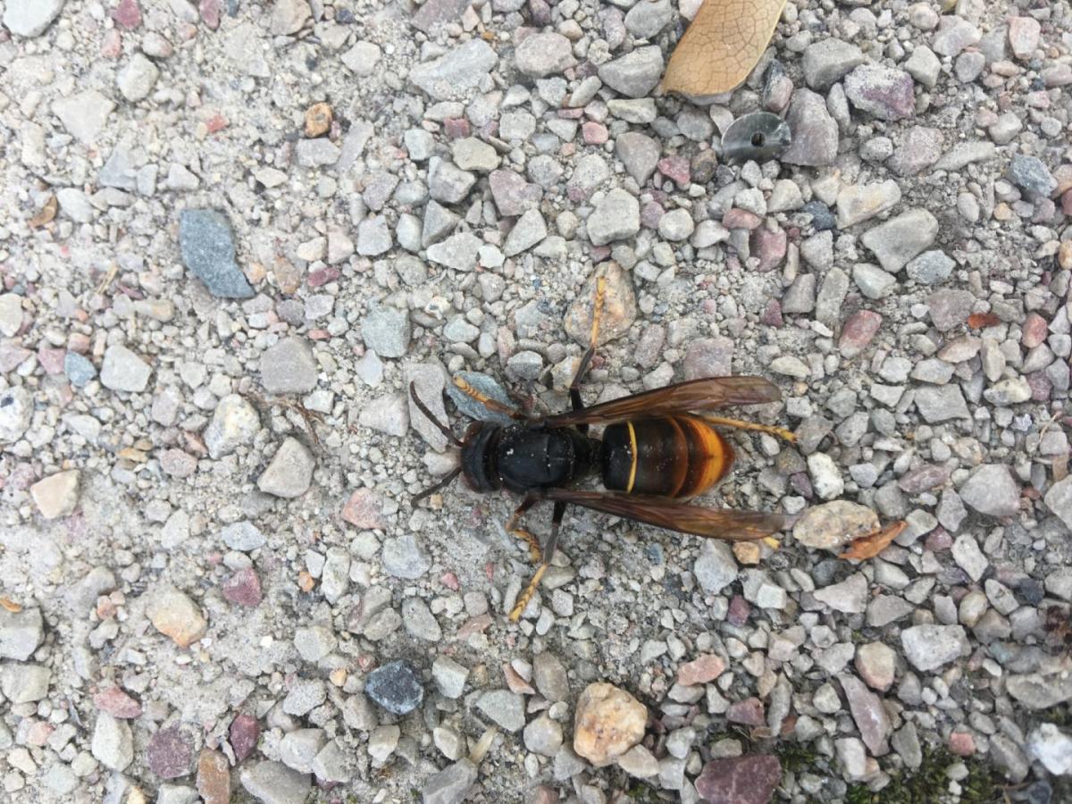 Yellow‐legged hornet