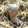Burgundy snail - Helix pomatia - © Svenja Christian