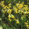 Cowslip - Primula veris - © Charles Reckinger